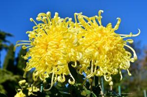 хризантема-победитель